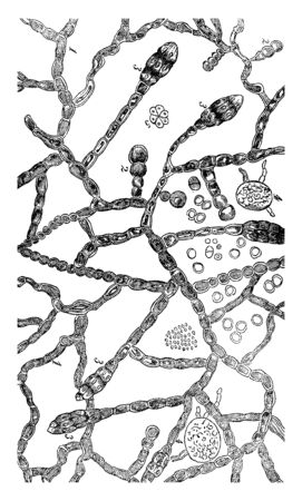 A picture showing the stages of fungus growth, vintage line drawing or engraving illustration.