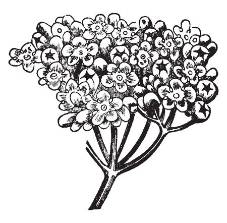 An inflorescence is a group or cluster of flowers arranged on a stem that is composed of a main branch. These flower bloom in herd in the stem, vintage line drawing or engraving illustration. Ilustrace
