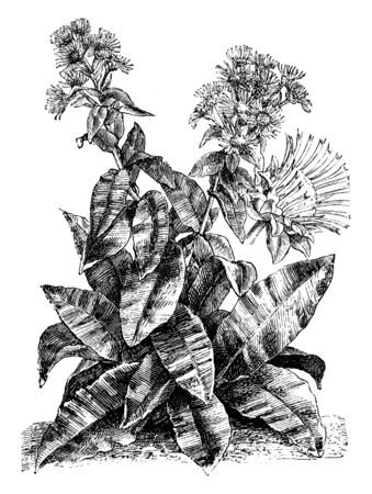 A plant of the American genus Helenium, up to 1.6 m (5 ft) tall, some species of which are grown as border plants for their daisy-like yellow or multicolored flowers, vintage line drawing or engraving illustration.