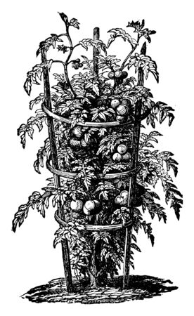 In this picture there is a hoop trained tomato. In this, tomato vine has been built and supported by a bamboo stick, vintage line drawing or engraving illustration.