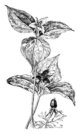 T. Erectum and T. Undulatum are the two species of flowering plant of Lily family. Flowers of these species are red-purple and white in color respectively, vintage line drawing or engraving illustration. Illustration