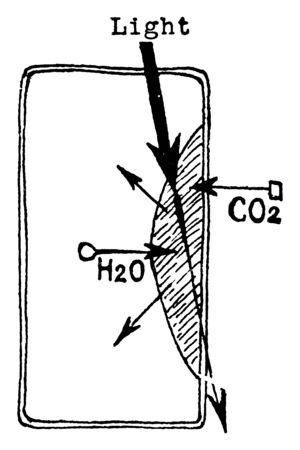 This palisade cell of leaf, in this picture, the process of photosynthesized, they co2 observe. Palisade cell which packed by chloroplasts, vintage line drawing or engraving illustration.