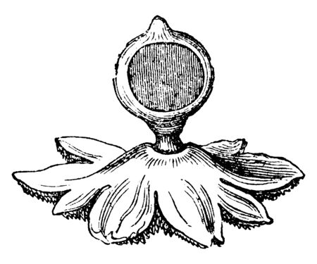 This is image of Earthstar Mushrooms. In dry weather the petals will dry and curl up around the soft spore sac, protecting it, vintage line drawing or engraving illustration.
