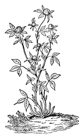 The red clover plant is seen in this frame and its flowers are round and solid. It is widely grown as a fodder crop, vintage line drawing or engraving illustration.