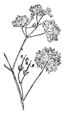 A picture is showing Roundleaf Geranium, also known as Geranium rotundifolium. It belongs to Geraniaceae family. This is a low growing spreading annual herb. Leaves are round or kidney- shaped, vintage line drawing or engraving illustration. Vettoriali