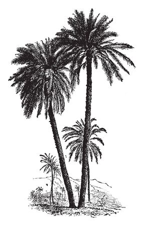 A picture of Date palm which has been cultivated for a very long time because of its fruit. It has long leaves which looks like feathers, vintage line drawing or engraving illustration. Illusztráció