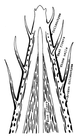 This picture showing a plant skeletal tissue. This image showing an inner part of plant, vintage line drawing or engraving illustration.