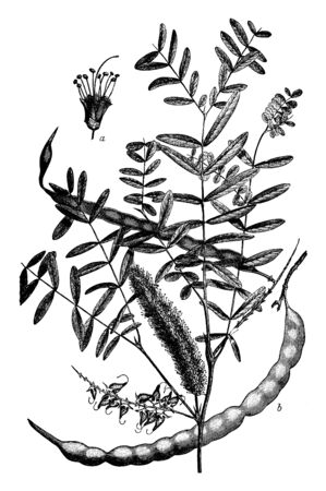 This picture illustrate flowers appear shortly after leaf development. It varies in size from a straggling bush to a well-formed tree. Its leaves are deciduous, bi-pinnate, light green, vintage line drawing or engraving illustration.