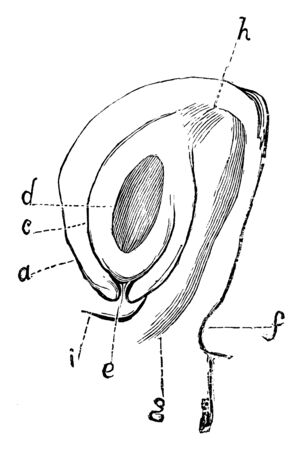 A diagram is showing the anatropous ovule of actaea spicata in section, vintage line drawing or engraving illustration. Illusztráció