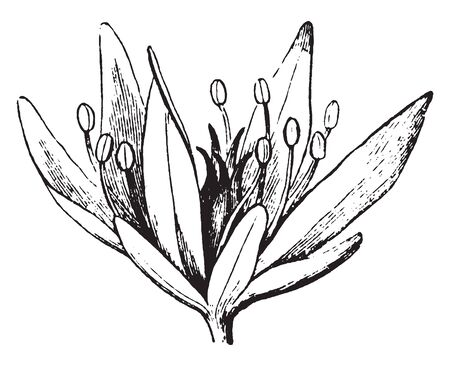 This picture is showing a flower parts. It is simple flower. These petals are long and pointed. The stigma grow inner side of flower, vintage line drawing or engraving illustration.