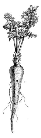 This is the Parsnip. It looks like a carrot. This grows under the ground and its colour is white. Roots are connected to the Parsnip. Its plant grows on the ground and it is used for making dish, vintage line drawing or engraving illustration.