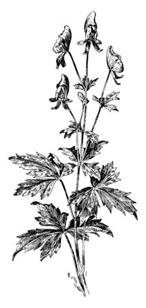 An image of Aconitum Uncinatum plant.  The flowers are blue and the leaves are thick, vintage line drawing or engraving illustration.