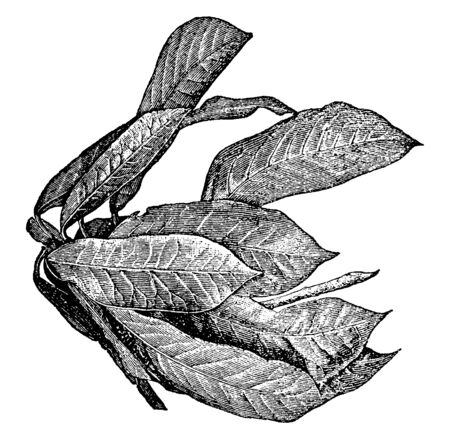 Croton plant has thick, leathery leaves that have a shiny surface, and this plant also used as ornamental plant, vintage line drawing or engraving illustration. Illustration