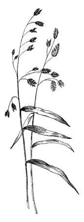 It is a thin sized and long sized grass, blossoming flowers on the top, the flowers are fine and triangular, vintage line drawing or engraving illustration. Illustration