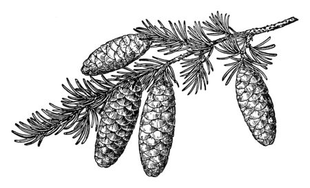 Also known as Tsuga Mertensiana. A species of hemlock native to the west coast of North America, between Alaska and California, vintage line drawing or engraving illustration.