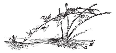This picture is showing black raspberry plant. The stem is very thin and long. This fruit plant, vintage line drawing or engraving illustration. 일러스트