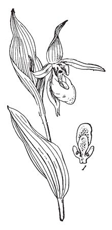 This flower of a plant is like a slipper-shaped pouch with petals 6 in 2 whorls. The leaves are blade widely elliptic-lanceolate, stalk-less, vintage line drawing or engraving illustration.