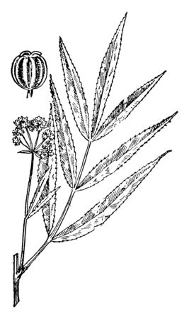A picture showing a water parsnip. This is from Apiaceae family with simple leaves. This plant is producing white flowers, vintage line drawing or engraving illustration. 向量圖像
