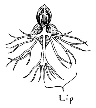 It is a Ragged Fringed Orchid flower and found in whitish green, pale green or yellowish green, irregularly shaped, vintage line drawing or engraving illustration. Stock Illustratie