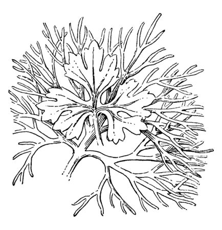 This plant also known as Aquilegia vulgaris, leaves of this plant are deeply divided and round in shape, vintage line drawing or engraving illustration.