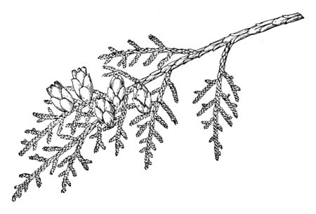 A branch of a large tree, up to 60 metres tall when mature, with drooping branches; trunk often spreading out widely at the base, vintage line drawing or engraving illustration. Ilustração