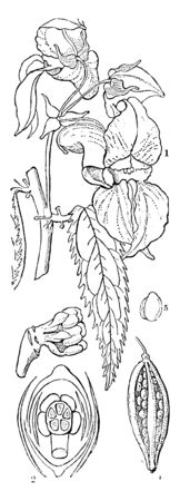 This is mostly growing large plant; flower arranged in spirally, leaves are toothed entire area. There is embryo of balsam fruit, vintage line drawing or engraving illustration.