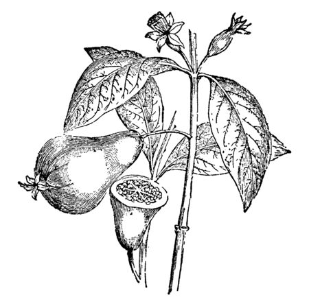 A picture showing a Guava plant which is a tropical tree, producing sweet fruits which are eaten as a fruit, vintage line drawing or engraving illustration.