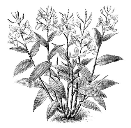 A picture is showing Burbidgea Nitida. It belongs to flowering ginger family, Zingiberaceae. A flower has an orange-scarlet color and three petals, vintage line drawing or engraving illustration. Ilustração