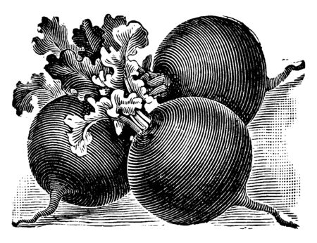 Scarlet globe radishes are cool-season vegetables. It is a variety of radish, vintage line drawing or engraving illustration. Illusztráció
