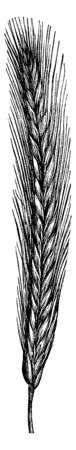 This rye very hairy, and seed very dense and covered, vintage line drawing or engraving illustration.