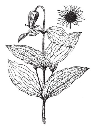 Picture is of Clematis Fremontii plant. Leafs are large in size and have ovate shape. Flower is very small as compare to its leaves, vintage line drawing or engraving illustration.