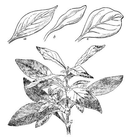 A picture shows Telanthera Amoena Plant Leaves. This Shrub belongs to the Alternanthera genus. Leaf a is wet leaf, leaf b is dry leaf and leaf c is fleshy leaf, vintage line drawing or engraving illustration.