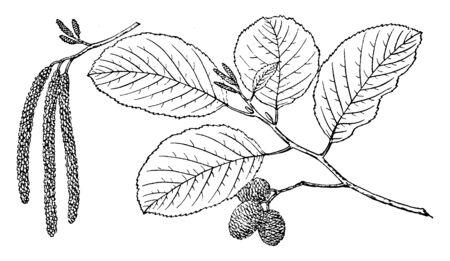 Esta es la rama de un árbol de aliso blanco. Las hojas son alternas, rómbicas a elípticas estrechas y anchas. Este tiene un margen finamente dentado. Son finamente peludos. Tiene pequeñas semillas cilíndricas, dibujo de línea vintage o ilustración de grabado.