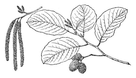 This is branch of a White Alder tree. Leaves are alternate, rhombic to narrow elliptic, and broad. This has finely serrated margin. They are thinly hairy. It has small cylindrical seeds, vintage line drawing or engraving illustration. Illustration