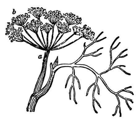 A picture, thats showing Dill. It is extensively grown in Eurasia. Its leaves and seed are used as spices for flavoring food, vintage line drawing or engraving illustration.