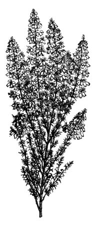 Bell Heather is a species of flowering plant in the heath family Ericaceae. It is a low, spreading shrub with fine needle-like leaves. The flowers are bell-shaped and purple in color, vintage line drawing or engraving illustration.