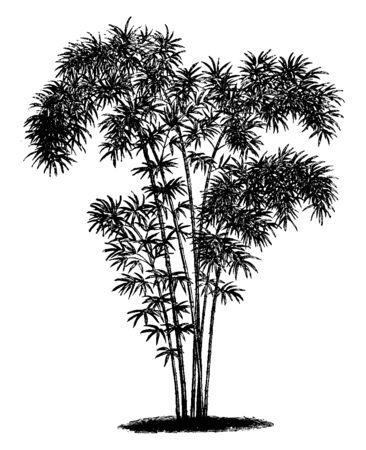A picture of shrub of bambusa nana, tree looks tall. Branches are thick and have small leaves, vintage line drawing or engraving illustration. Ilustracja