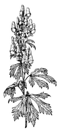 An image of Aconitum Autumnale flower plant. These plants leaves are five lobed flower color are blue, lilac, vintage line drawing or engraving illustration.