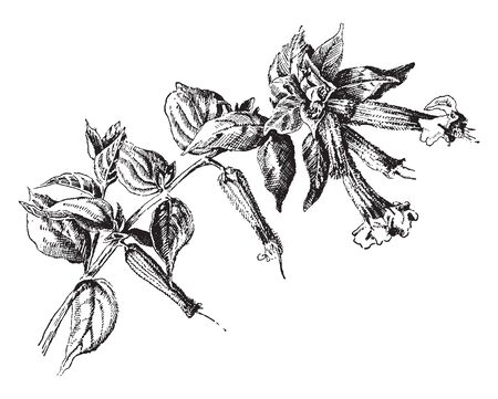 This is the image of Cuphea Llavea flowers. It has red-white-and-blue flower. The plant is mostly spot in Guatemala, vintage line drawing or engraving illustration.
