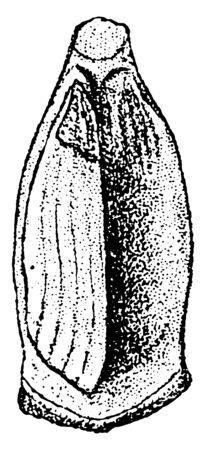 This image shows a cone of shortleaf pine. The cones are long, with thin scales with a transverse keel and a short prickle, vintage line drawing or engraving illustration. Stock Illustratie
