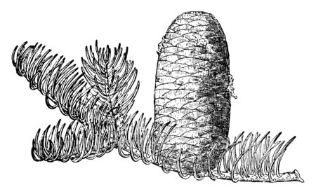 Pine Cone of Fir tree which are native to the mountains of western North America, vintage line drawing or engraving illustration. Reklamní fotografie - 132867431