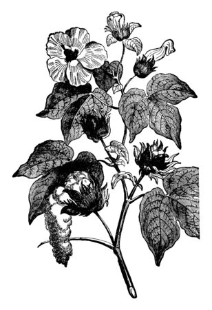 This is the cotton plant which weakens the produced substance; it works for the herbs, vintage line drawing or engraving illustration.