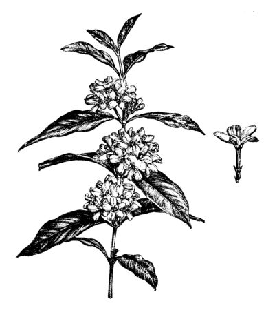 Mitrostigma Axillare is the family of Rubiaceae. Flowers of these plants are white star-shaped, bloom in spring. Leaves are opposite and simple, vintage line drawing or engraving illustration.