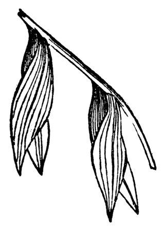 A picture of Secund plant with leaves arranged on one side only, vintage line drawing or engraving illustration. Ilustração