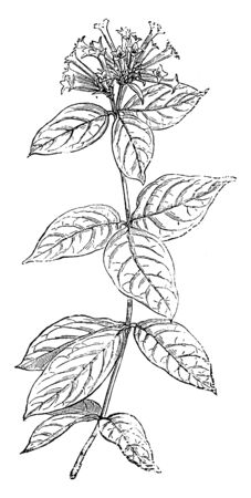 Bouvardia Leiantha is species of flowering plants in the Rubiaceae family. Ovate shaped leaves along the stem. Many clusters of flowers are at the top, vintage line drawing or engraving illustration. Stock Vector - 132871381