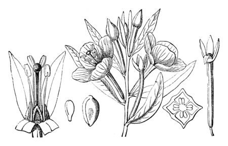 A picture showing a flower, calyx, ovary, seed and embryo of Wingleaf Primrosewillow which is also known as Ludwigia Jussiaeoides, vintage line drawing or engraving illustration.