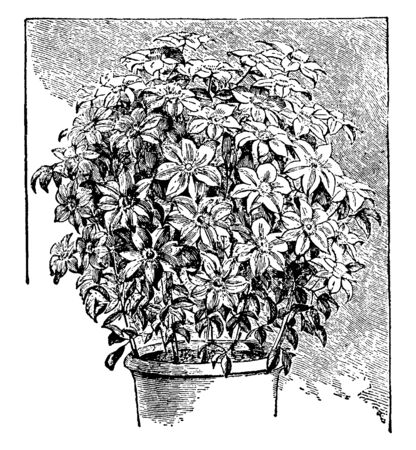 Picture is showing Clematis plant. Plant is full of flowers. Leaves are small in size and are developed near ground, vintage line drawing or engraving illustration.
