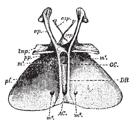 Entosternum is an internal process or system of processes of the sternum of an insect or other arthropod, vintage line drawing or engraving illustration. Illustration