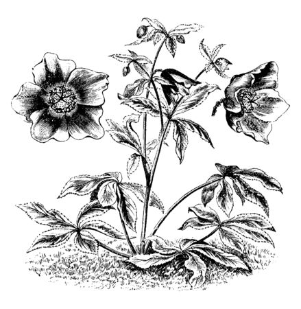The Eurasian genus Helleborus consists of approximately 20 species of herbaceous. These flower colors are purplish. There are two or three flowers in every twig as shown in picture, vintage line drawing or engraving illustration.