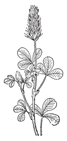 Crimson Clover is a species of clover in the family Fabaceae and also known as Trifolium Incarnatum or Italian clover. Trifolium Incarnatum is mostly found in Europe, vintage line drawing or engraving illustration. 向量圖像